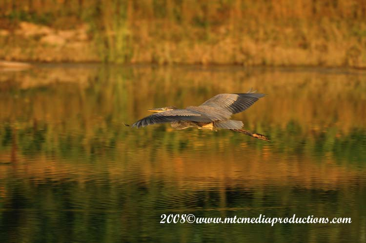 Blue Heron Picture-116
