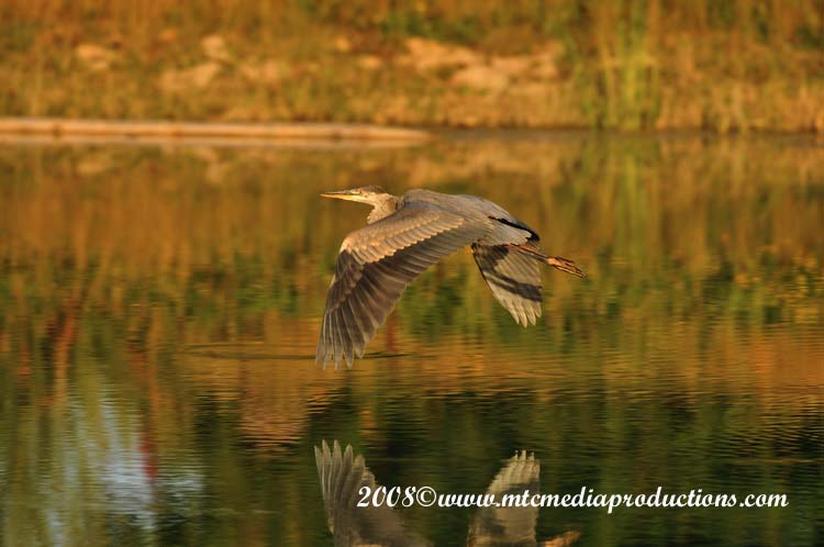 Blue Heron Picture-117