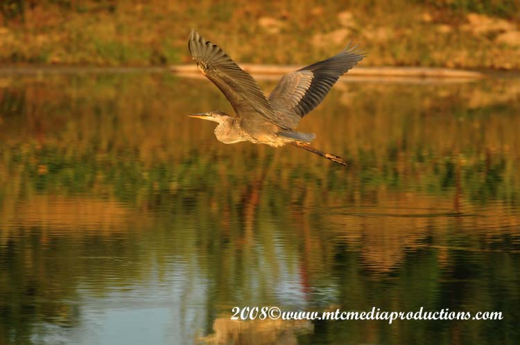Blue Heron Picture-118