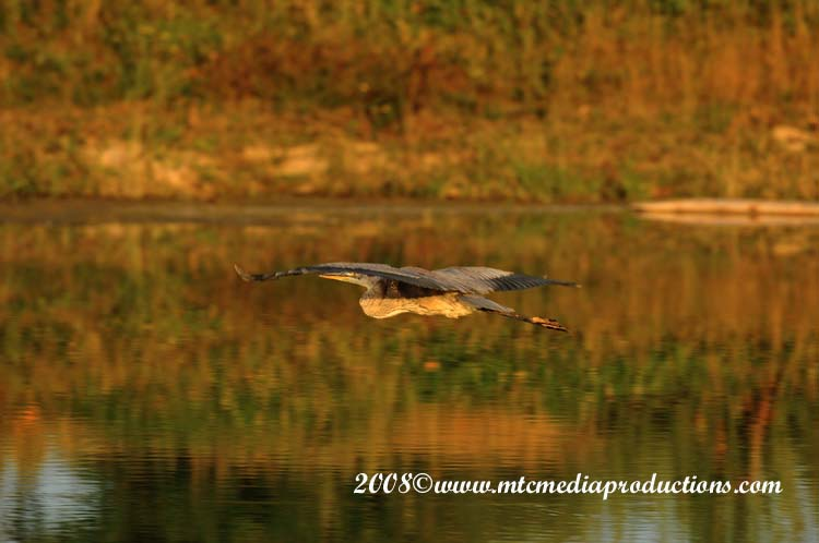 Blue Heron Picture-119
