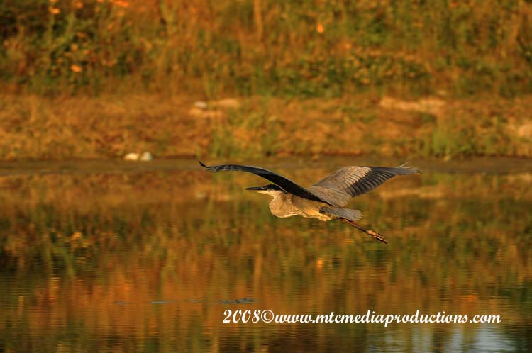 Blue Heron Picture-120