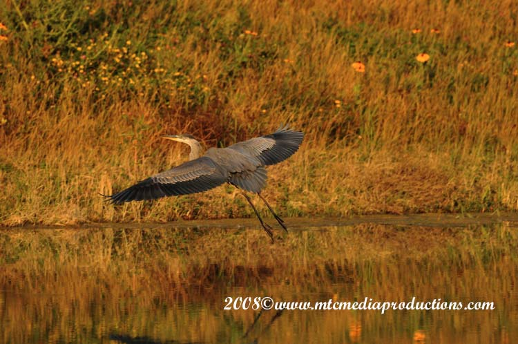 Blue Heron Picture-121