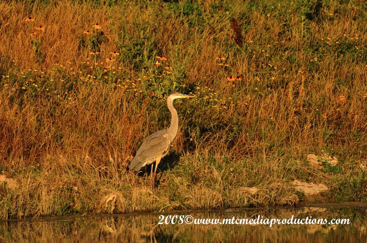 Blue Heron Picture-122