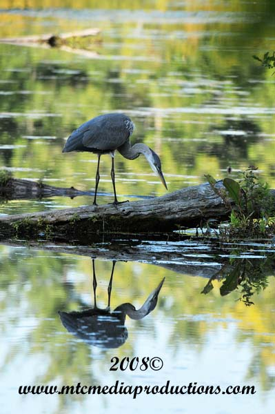 Blue Heron Picture-123