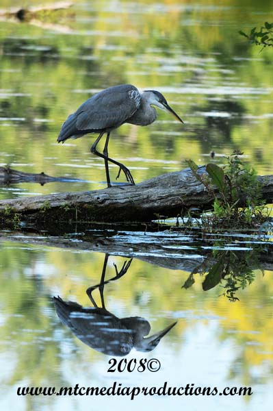 Blue Heron Picture-124