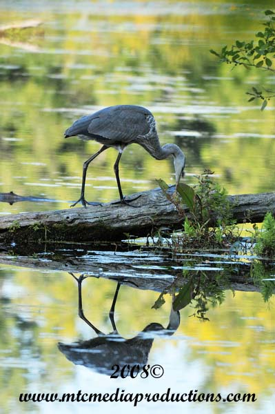 Blue Heron Picture-125