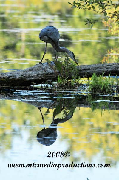 Blue Heron Picture-126