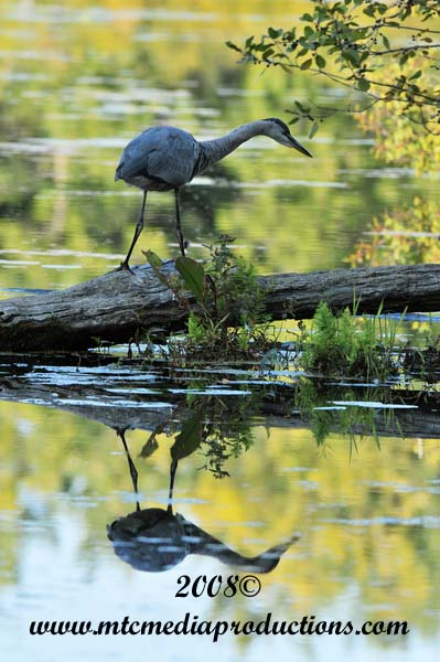 Blue Heron Picture-127