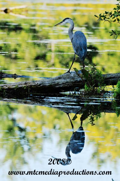 Blue Heron Picture-128