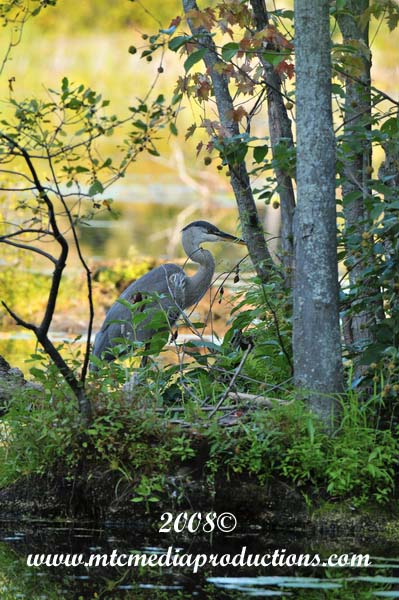 Blue Heron Picture-129