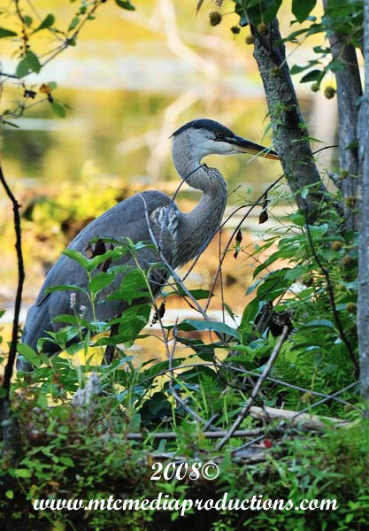 Blue Heron Picture-130