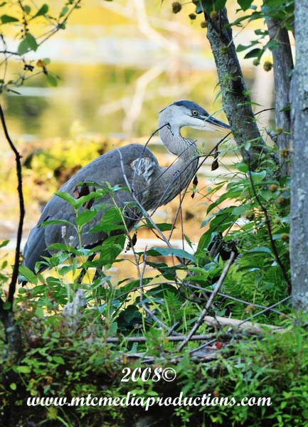 Blue Heron Picture-131