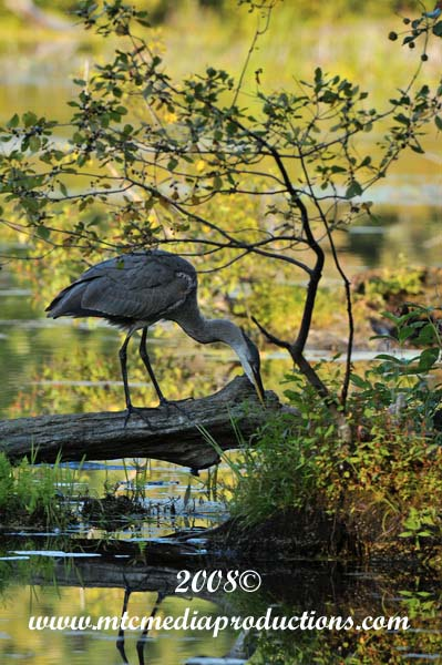 Blue Heron Picture-134