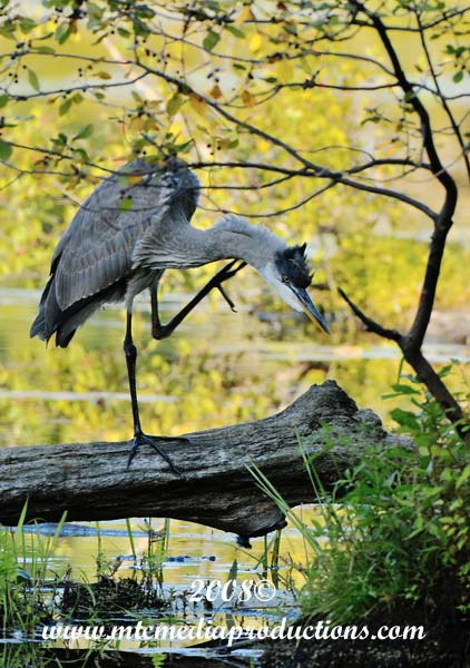 Blue Heron Picture-135