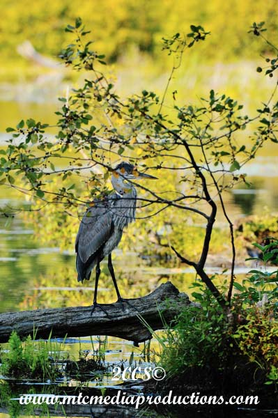 Blue Heron Picture-136