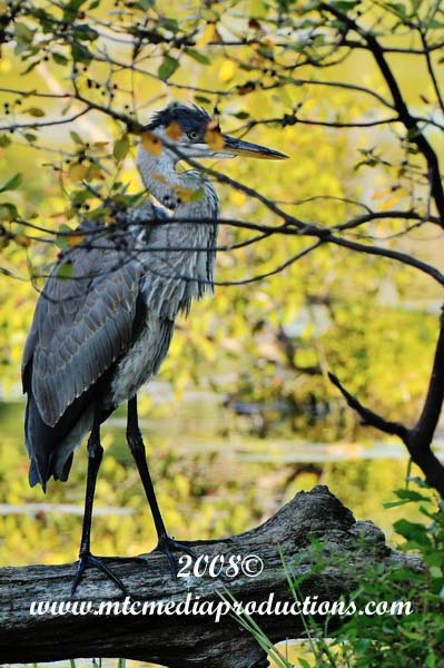 Blue Heron Picture-137