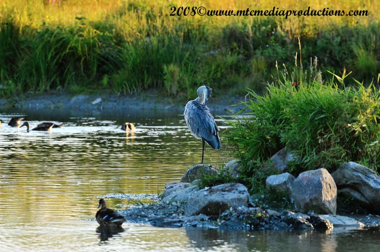 Blue Heron Picture-138