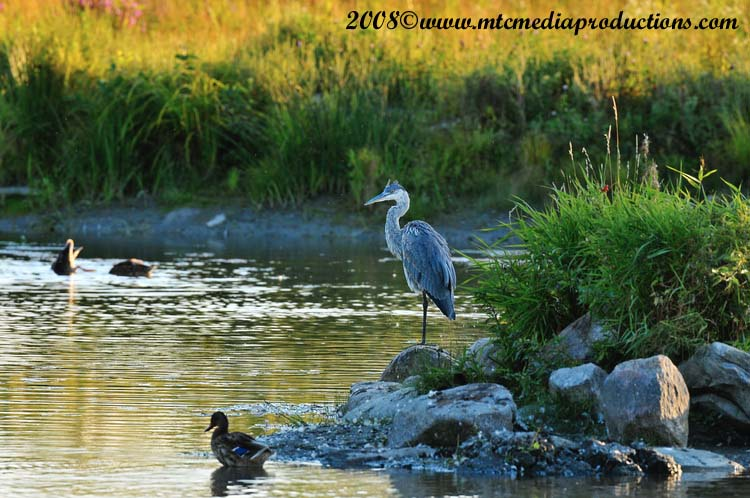 Blue Heron Picture-139
