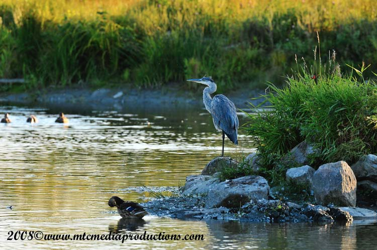 Blue Heron Picture-140