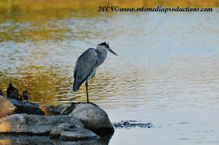 Blue Heron Picture-141