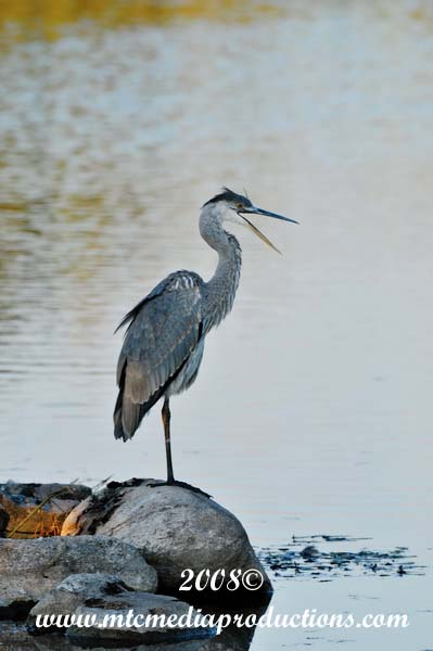 Blue Heron Picture-142