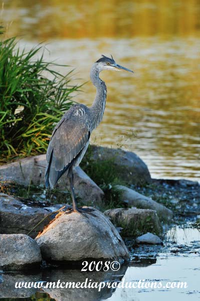 Blue Heron Picture-143