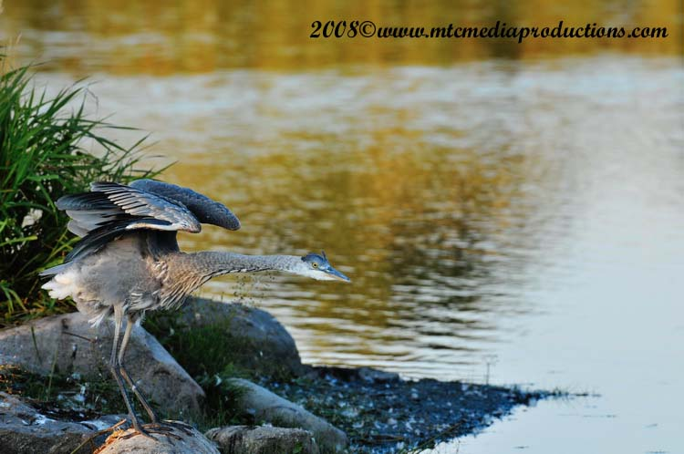 Blue Heron Picture-144