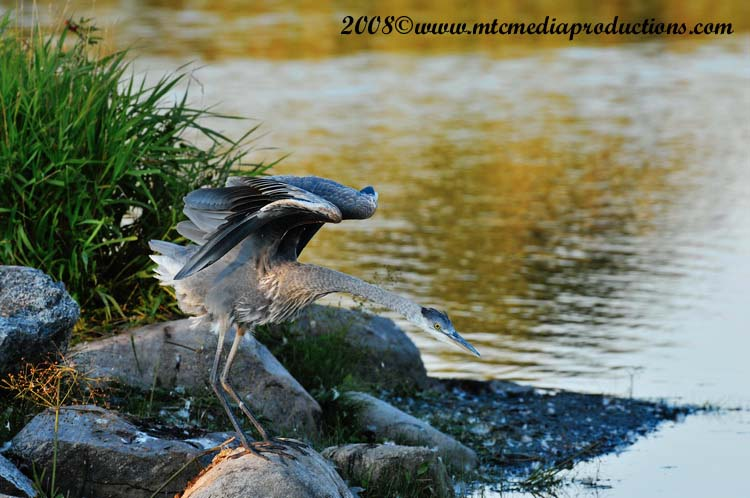Blue Heron Picture-145