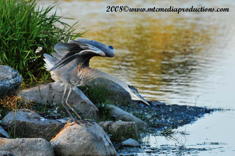 Blue Heron Picture-146
