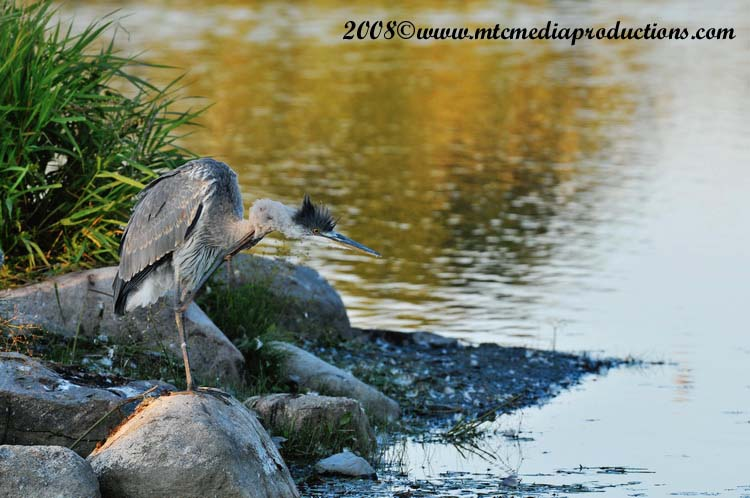 Blue Heron Picture-147