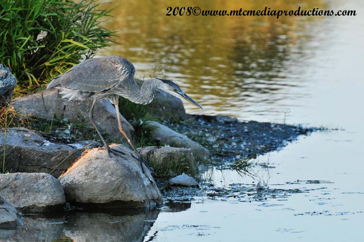 Blue Heron Picture-148