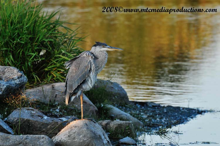 Blue Heron Picture-149