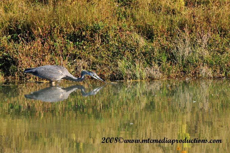 Blue Heron Picture-150