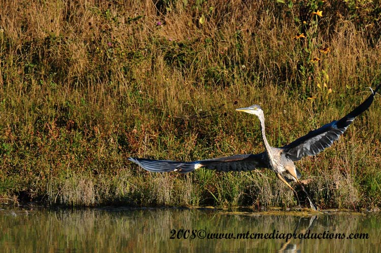 Blue Heron Picture-151