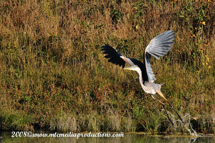 Blue Heron Picture-152