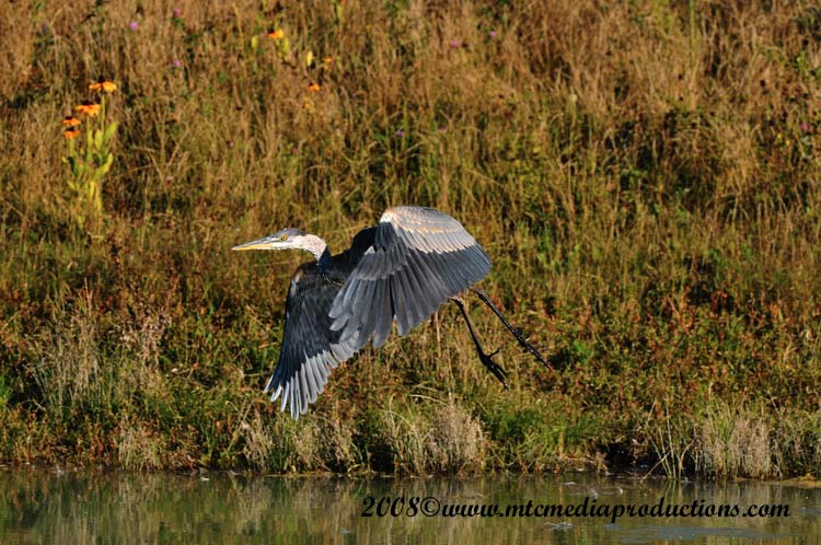 Blue Heron Picture-153
