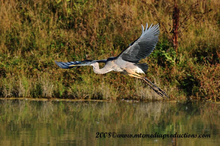 Blue Heron Picture-154