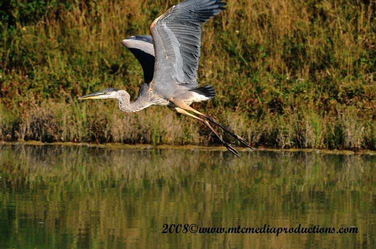 Blue Heron Picture-155