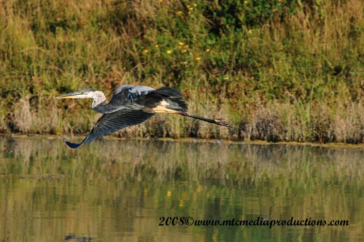 Blue Heron Picture-156