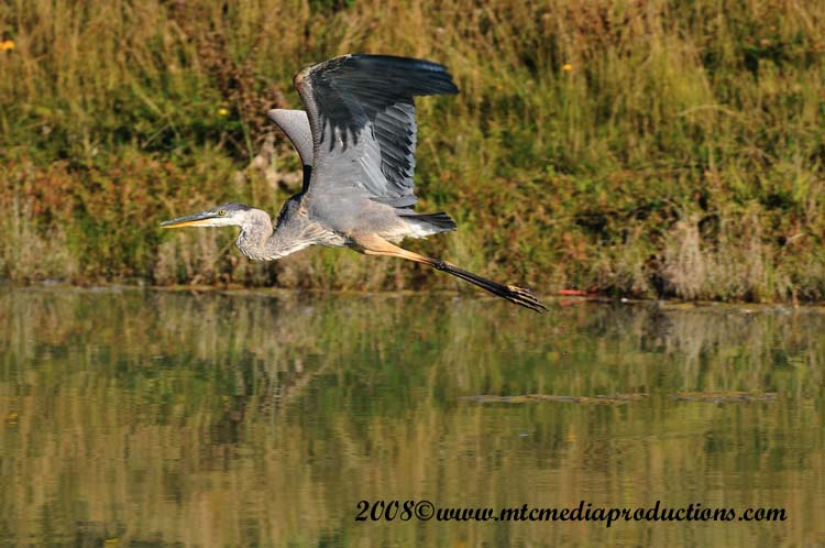 Blue Heron Picture-157