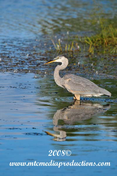 Blue Heron Picture-158