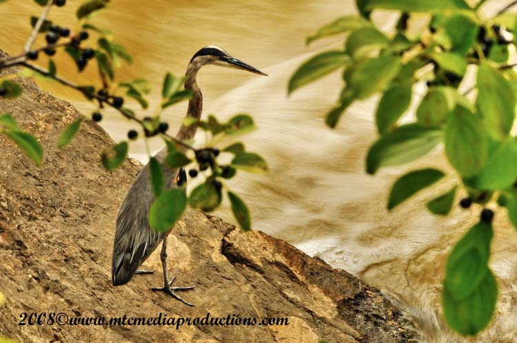 Blue Heron Picture-159