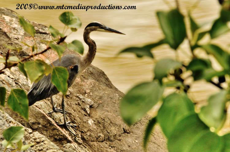 Blue Heron Picture-160