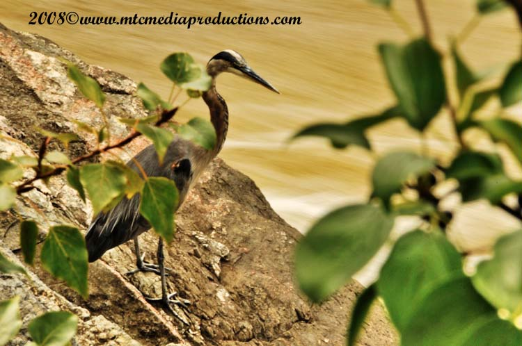 Blue Heron Picture-161