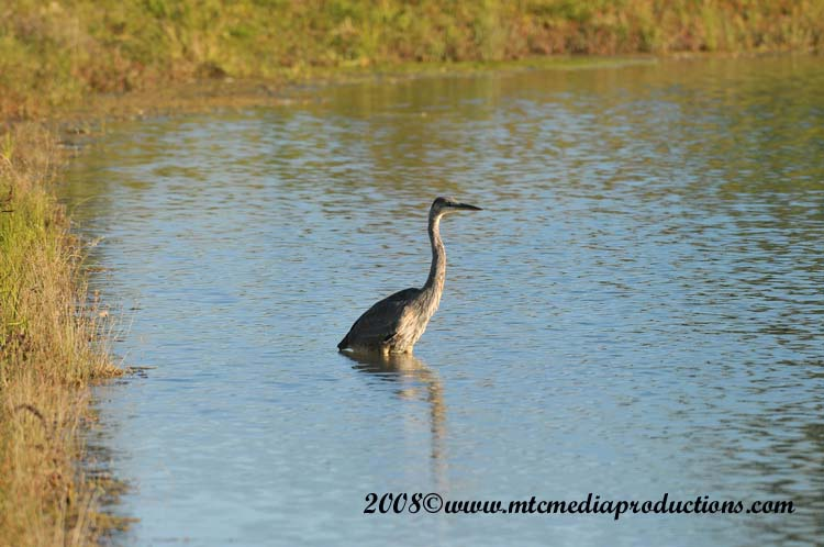 Blue Heron Picture-162