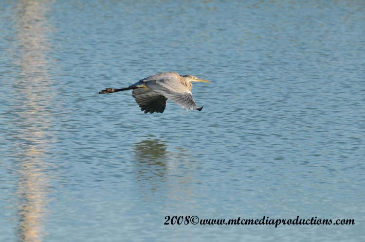 Blue Heron Picture-163
