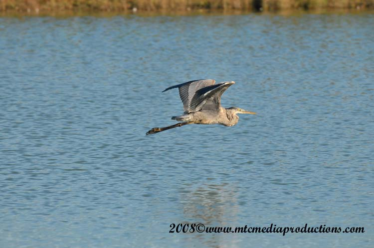 Blue Heron Picture-164