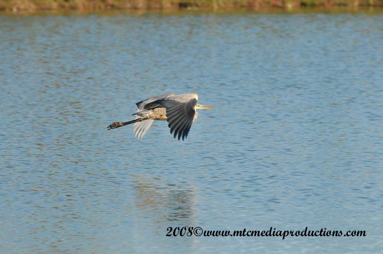 Blue Heron Picture-165