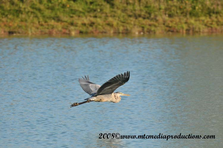 Blue Heron Picture-166