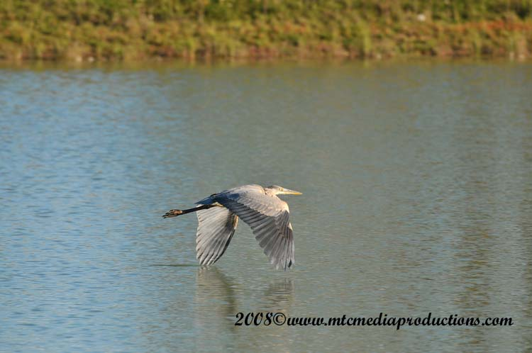 Blue Heron Picture-167